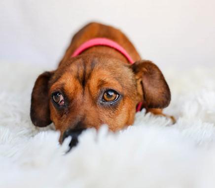 διάρροια σκύλου